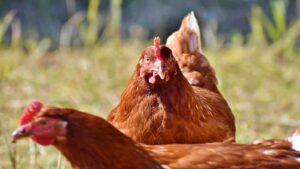 en fazla para kazandiran tavuk cinsleri hangileridir